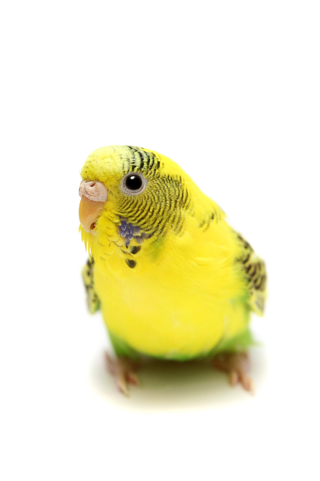 Budgie female on the white background