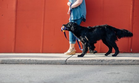 USA: Feature Rates Apply Mandatory Credit: Photo by WeForDogs/Solent News/REX/Shutterstock (6477575h) Dog wearing the We Leash 'We Leash' two way dog lead which has handle for owner and handle for dog, Georgia, USA - Oct 2016 *Full story: http://www.rexfeatures.com/nanolink/stfs Canine experts have created an innovative new two-way leash for dogs - which has one handle for you and one for your pet. The We Leash is designed to help dogs feel more confident and in-control, which can improve behaviour and reduce dragging and pulling on walks. As the canine has its own handle, which is held in its mouth, the We Leash gives the impression you and your dog are walking each other and 'helps strengthen the human-dog bond.' The blue lead fastens around the dogs neck like a normal leash, but instead of one line connecting the dog and the owner, there are two separate lines with handles coming from the leash around the dogs head - one for the dog and one for the owner.